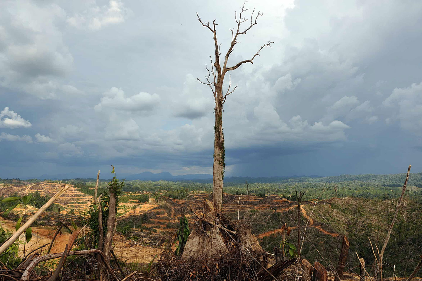 Image from The Guardian article: A tree stands alone in a logged area prepared for plantation near Lapok in Malaysia's Sarawak State. Photograph: Saeed Khan/AFP/Getty Images